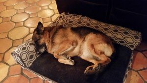 Harley my German Shephard sleeping