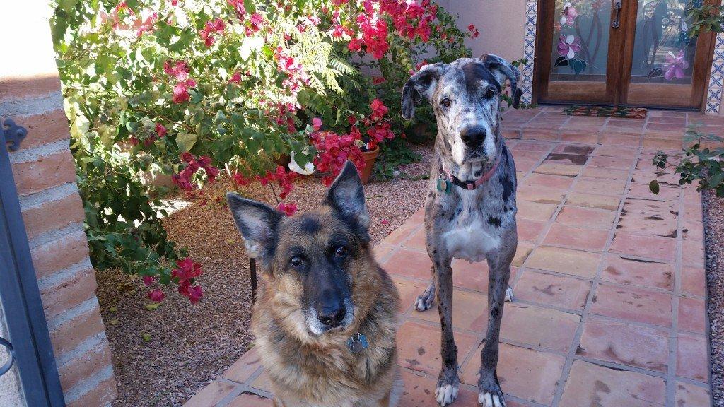 German Shepherd dog standing next to Great Dane dog