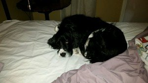 Brooks sleeping on the bed during overnight pet sit