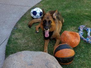 German Shepherd playing with balls
