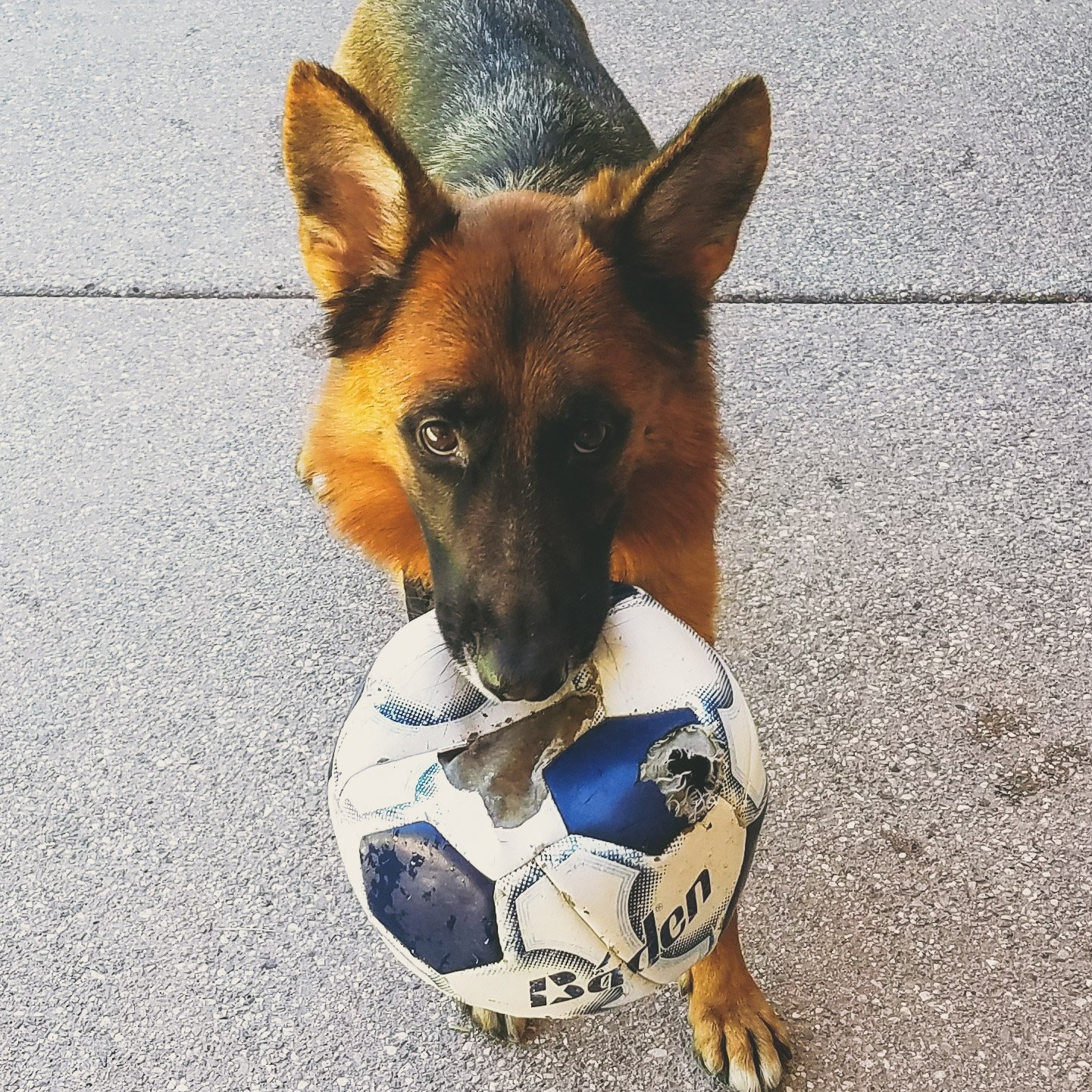 Dog holding soccer ball in mouth