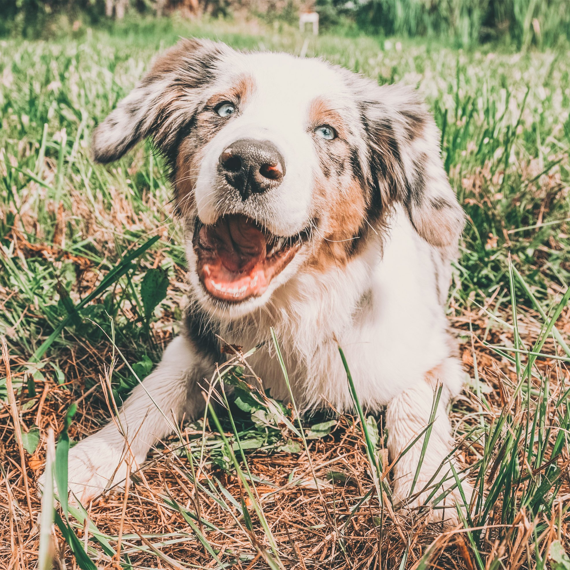 Dog with tongue out, laying in the grass